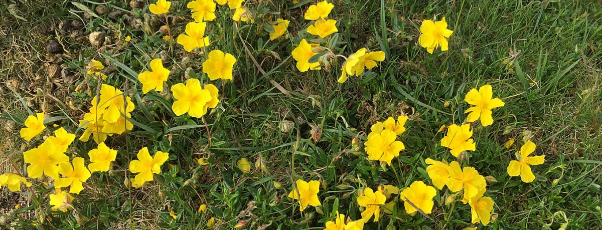 Rock roses found in the Yorkshire Dales